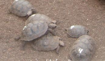 Young giant tortoises