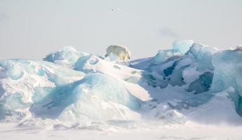 A polar bear climbs glacial ice in the Arctic
