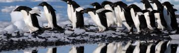 Colony of Adelie penguins