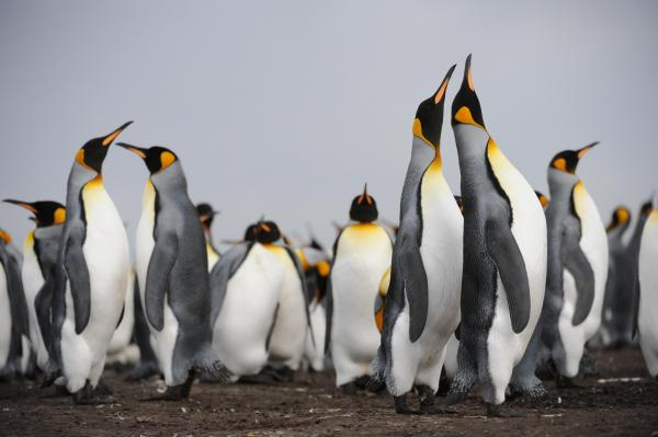Colony of king penguins