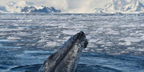 Humpback whale emerges from polar waters