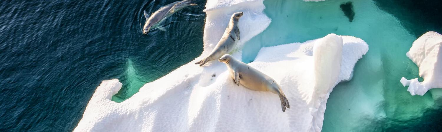Seals rest on a floating piece of ice