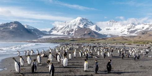 A colony of king penguins on South Georgia