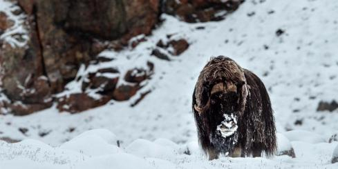 Musk Ox roaming the Northwest Passage