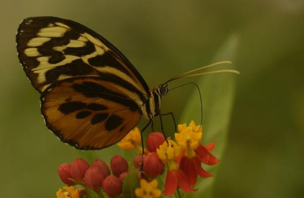 Meander through the hotel gardens to find beautiful butterflies at Sacha Lodge