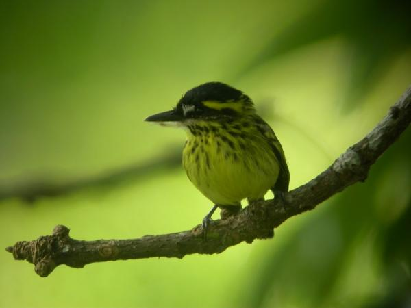 Get to know the birds endemic to Ecuador\s Amazon