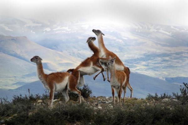 Guanaco at play