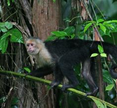 White-faced monkey--Tortuguero