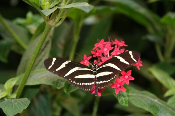 A butterfly at La Paz Waterfall Garden