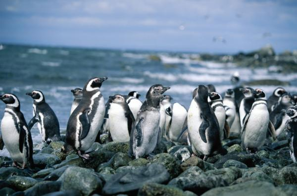 Group of Megellanic Penguins