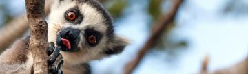 Look for ring-tailed lemurs in the trees of Madagascar