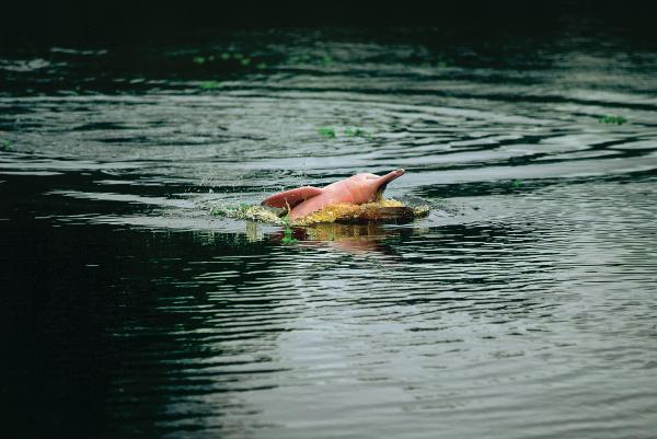 Pink dolphin in the Amazon
