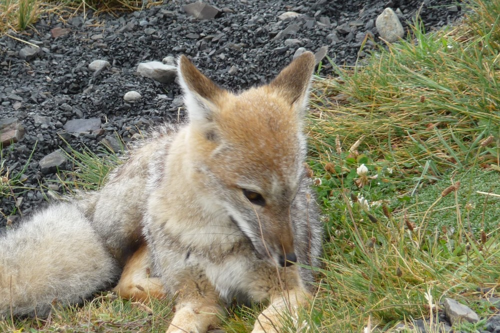 Face to face with a fox at Torres del Paine