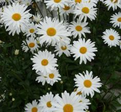 Ushuaia's robust daisies.