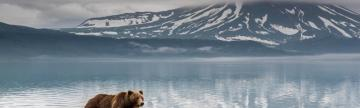 Kamchatka brown bear and cubs