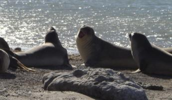 Sea elephants awaking