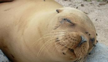 Sleepy Sea Lion
