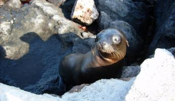Sea Lion pup in the Galapagos