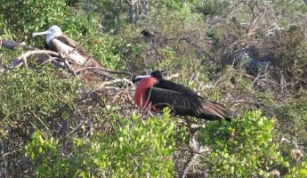 Frigate birds in the Galapagos