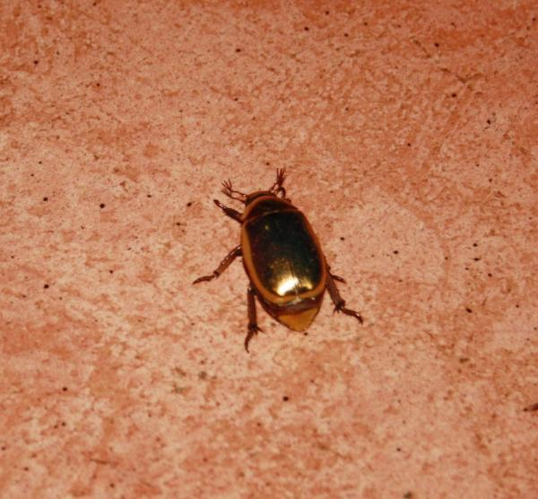 Golden beetle on our doorstep - it really looks metalic