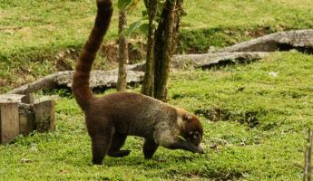 Coatimundi in the Arenal Observatory Lodge garden