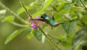Hummingbird feeding on flowers at Arenal Observatory Lodge