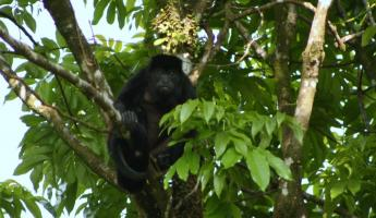 Howler Monkey chilling out in the AOL garden