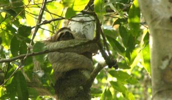 Tree-hugging Sloth