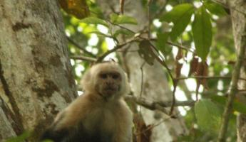 White-faced Capuchin Monkey - having a good look at us