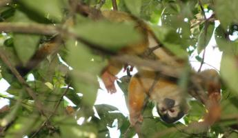 Squirrel Monkey in the Corcovado National Park