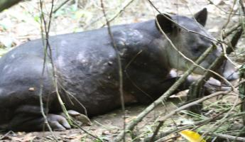 Tapir - a relative of the horse and rhino