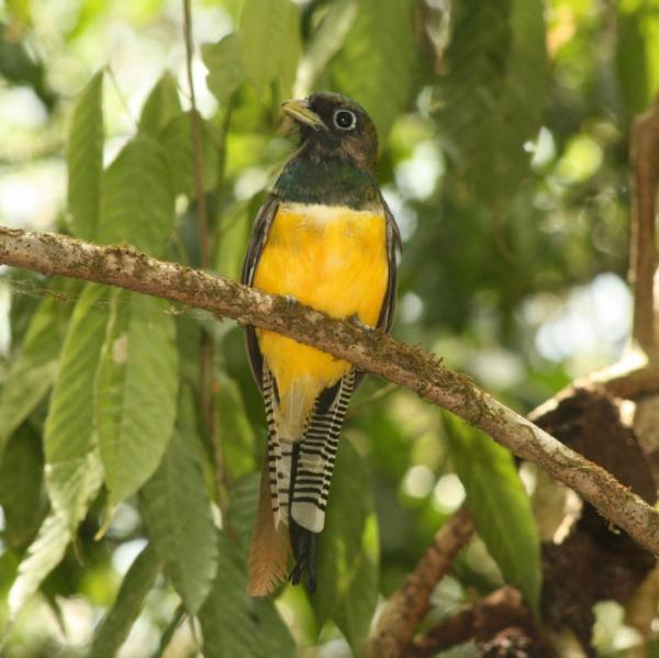 Trogon - same family as the Resplendent Quetzal