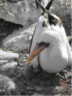 Look close! Nazca Booby balances her  newly hatched baby