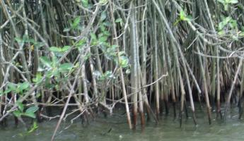 Mangroves on our boat ride up the Rio Dulce