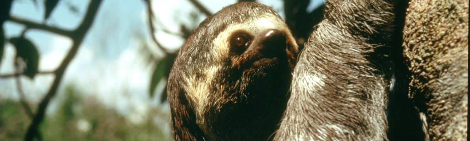 Up close to a three toed sloth