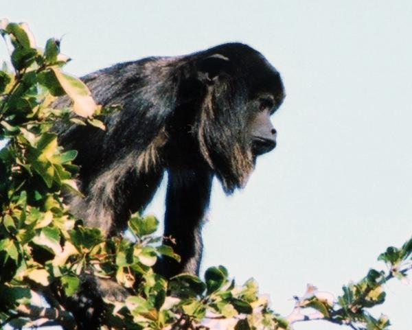 A black howler monkey