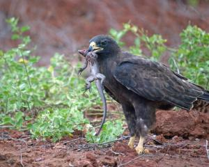 Endemic Galapagos Hawk -- The lava lizard didn't stand a chance. Photo by Jennifer Crossman
