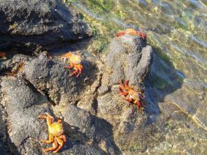 Endemic to the Galapagos, Sally-lightfoot crab