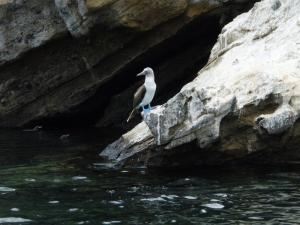 Blue Footed Booby in the Galapagos