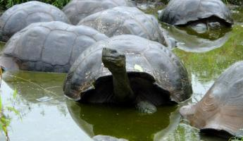 Galapagos tortoise taking a little swim.