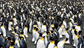A huge colony of king penguins.