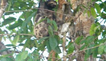 3 toed sloth with baby