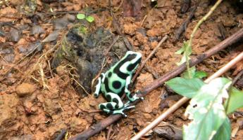 Day 4 poision dart frog