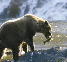 A bear catching lunch
