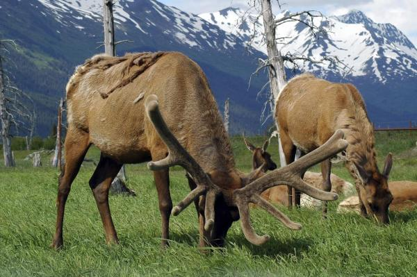 Elk feeding on the lush grass.