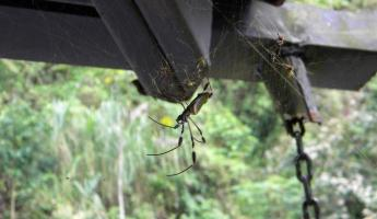 Day 3:golden orb spider - her cousin watched us take showers