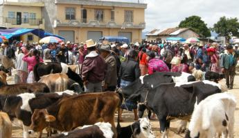 Want to buy a cow? The San Francisco del Alto market