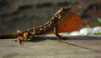 Day 4:  at sunrise, lizard on our front porch