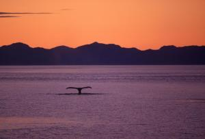 Catching sight of a whale at sunset
