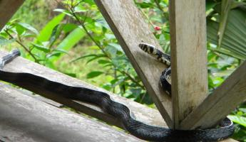 Day 4: visit from a mica snake (not poisonous)